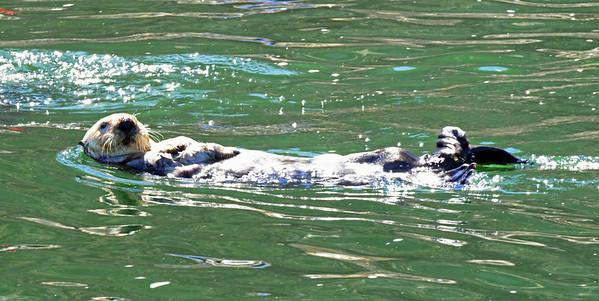 Sea Otter - Morro Bay
