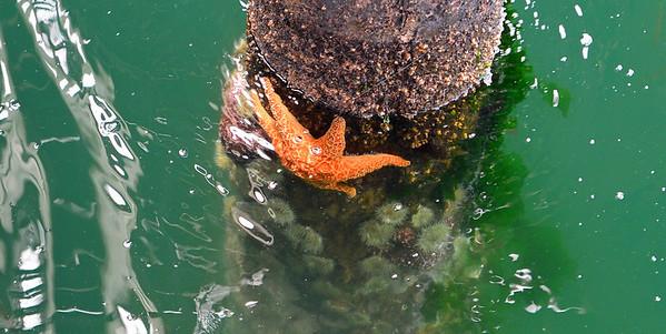 Starfish - Avila Beach