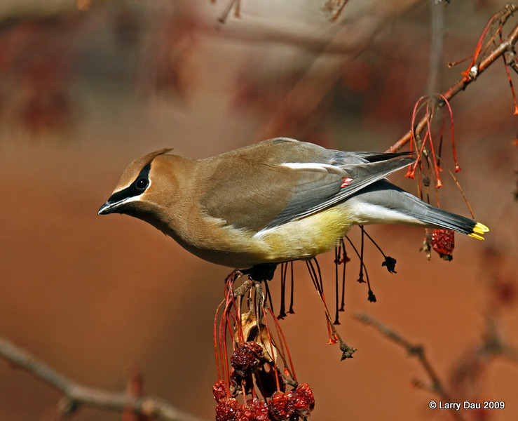 Cedar Waxwings on Crabapple Trees - ISU Campus