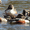 Northern Shovelers feeding, Harlem Meer, Central Park