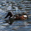 Northern Shoveler, Harlem Meer, Central Park