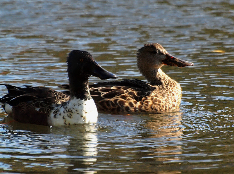 Pair of Northern Shovelers, Harlem Meer, Central Park