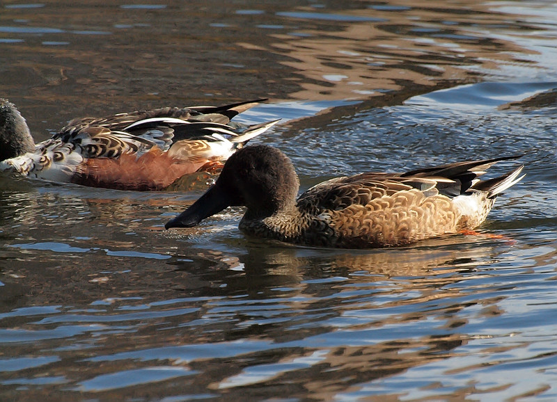 Northern Shovelers, Harlem Meer, Central Park