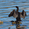 Double-crested Cormorant, Central Park Reservoir