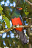 Slaty-tailed Trogon, Chan Chich area, Belize