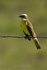 Social Flycatcher, Gallon Jug Ranch, Belize