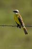 Social Flycatcher, Gallon Jug Ranch, Belize