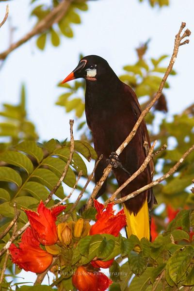 Montezuma Oropendola, Chan Chich area, Belize