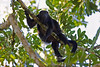 Howler Monkey, Chan Chich area, Belize