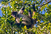 Spider Monkey, Chan Chich area, Belize