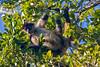 Spider Monkey, Chan Chich area, Belize