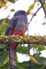 Slaty-tailed Trogon female, Chan Chich area, Belize
