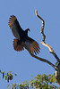 Turkey Vulture, Chan Chich area, Belize