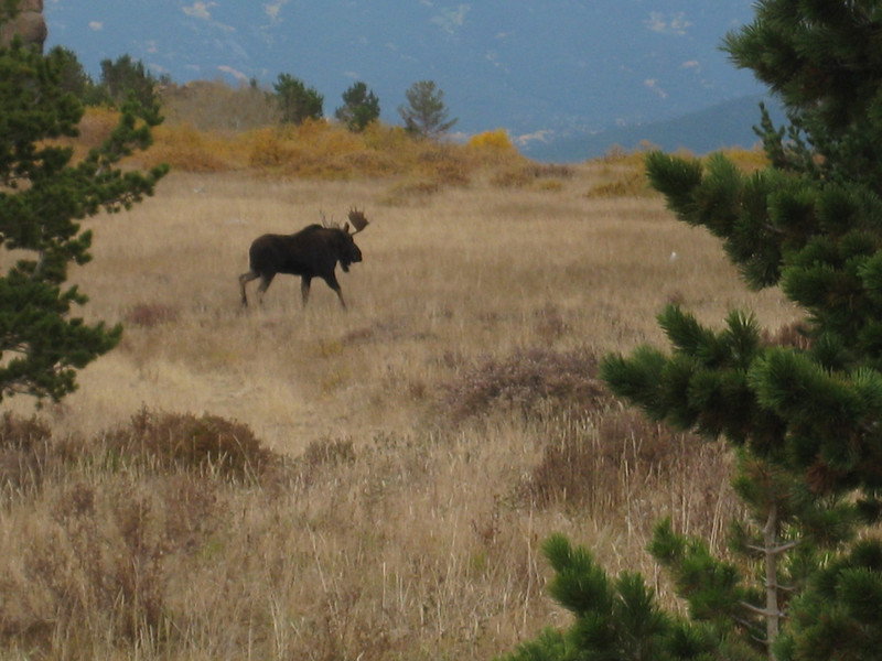 Mountain Moose above Caribou
