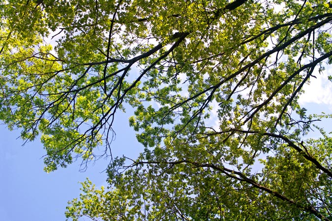 Sky view through trees in springtime