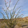 Ocotillo tree