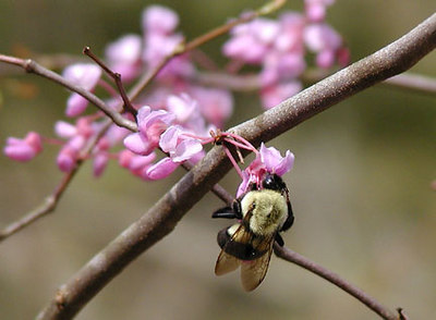 Bumblebee on a Redbud Blossom Townsend Wye March 07 GSMNP