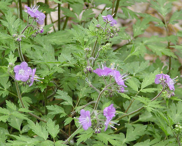 Purple Phacelia Chestnut Top Trail GSMNP March 07