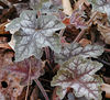 Alumroot Leaves. Plant was not yet in bloom.<br /> March 07 GSMNP <br /> Chestnut Top Trail