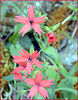 Fire Pinks along Chestnut Top Trail<br /> March 07 <br /> GSMNP