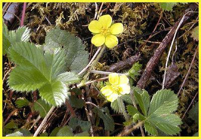 Dwarf Cinquefoil  Chestnut Top Trail  GSMNP March 07