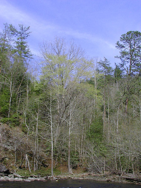 Favorite Spring Green Coming Back into the Trees<br /> across The Wye on Little River.<br /> Townsend, TN<br /> GSMNP 2007