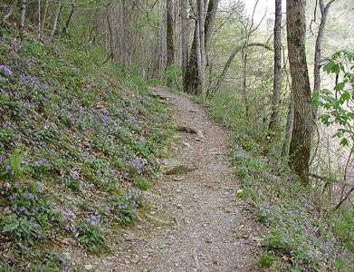 Beaked Violets Carpet the slopes along Chestnut Top Trail  March 2007 GSMNP