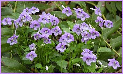 Cluster of Beaked Violets  Chestnut Top Trail GSMNP March 07