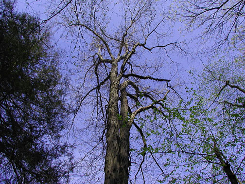 Shagbark Hickory Soars into the Blue<br /> Chestnut Top Trail March 07<br /> GSMNP