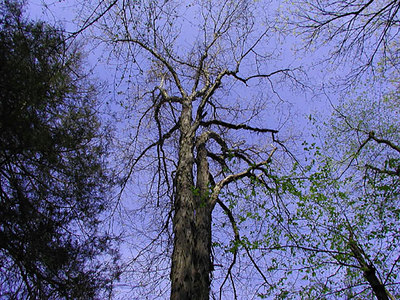 Shagbark Hickory Soars into the Blue Chestnut Top Trail March 07 GSMNP