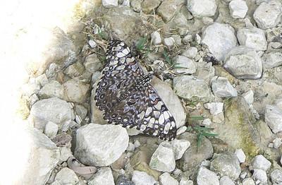P100HamadFeroniaVarCrCR354 Aug. 7, 2006   9:27 a.m.  P0000354 Hamadryas feronia, Variable Cracker.  Day Santa Marta to Chajul.