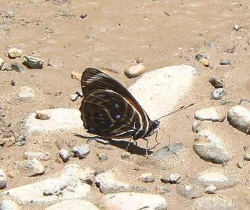 YRim88CalliTexa381_1 Aug. 7, 2006    11:46 a.m.  P1000381 Callicore texa, Yellow-rimmed 88 (JG) or Texa 88 (KG) Day: S Marta to Chajul.