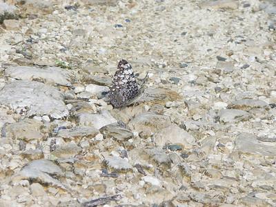 P100HamadryasFeronia335 Aug. 7, 2006   9:14 a.m.  P0000335 Hamadryas feronia, Variable Cracker.  Day Santa Marta to Chajul.