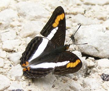 AdPithys313_1 Aug. 6, 2006    11:08 a.m.  P1000313 Pithy Sister, Adelpha pithys.  Lagunas de Montebello.