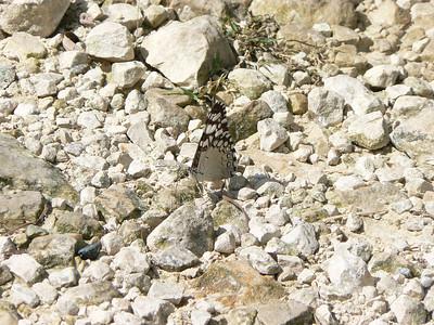 P100HamadrFeronia348 Aug. 7, 2006   9:24 a.m.  P0000348 Hamadryas feronia, Variable Cracker.  Day Santa Marta to Chajul.