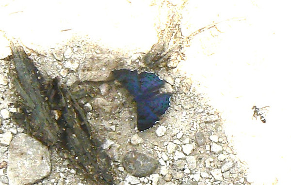 P100LasaiaSpCR630 Aug. 11, 2006   12:58 a.m.  P1000630 Lasaia sessilis metalmark at Sumidero Canyon, north of Tuxtla-Gutierrez, Mx.