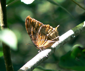 LfwgUnIDMemphis513_1 Aug. 10, 2006   9:26 a.m.  P1000513 Memphis sp.  Unidentified leafwing.  Santa Marta to San Cristobal day.