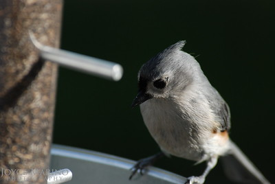 Titmouse at the feeder -- DSC_0172