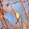 American Goldfinch in winter.  Copyright © 2011 Sharon K. Broutzas