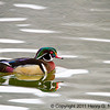 Wood Duck, spring, Chicago's North Pond.  Copyright © 2011 Henry G. Nepomuceno
