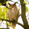 Great Horned Owl. Copyright © 2012 Sharon K. Broutzas.  Fabyan Forest Preserve, Geneva, IL.