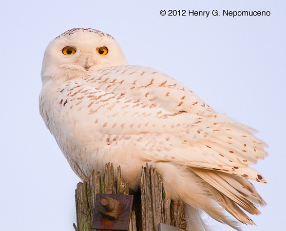 Snowy Owl.  Copyright © 2012 Henry G. Nepomuceno.  March 5, 2012 in McHenry County, IL.