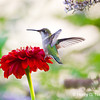 Ruby throated hummingbird, Chicago, IL.  Copyright © 2011