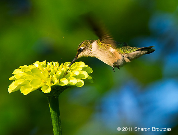 Ruby throated hummingbird, Chicago, IL.  Copyright © 2011 Sharon K. Broutzas.