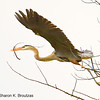 Great Blue Heron.  Copyright © 2012 Sharon K. Broutzas.  Churchill Woods, DuPage Co., IL