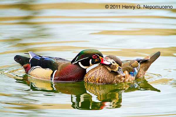 Just a nibble!  Male (L) and female (R) Wood Duck pair, spring, Chicago's North Pond.  Copyright © 2011 Henry G. Nepomuceno