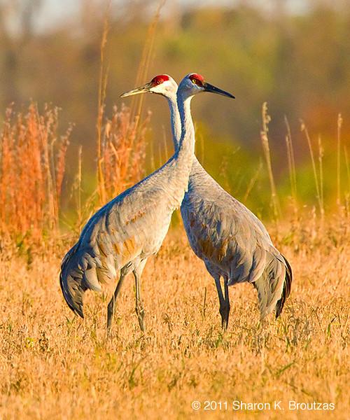 Sandhill Cranes, Rollins Savanna, Lake County, IL.  Copyright © 2011 Sharon K. Broutzas.