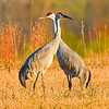 Sandhill Cranes, Rollins Savanna, Lake County, IL.  Copyright © 2011 Sharon K. Broutzas.