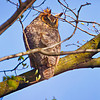 Great Horned Owl.  Copyright © 2012 Sharon K. Broutzas.  Daniel Wright Woods, Lake Co., IL