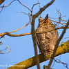 Great Horned Owl.  Copyright © 2012 Henry G. Nepomuceno.  Daniel Wright Woods, Lake Co., IL